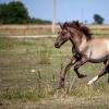 Eesti hobuse unikaalne geneetika