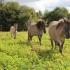 Need väikesed hobused meenutavad paljus eesti hobust