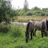 Konikud Halliste jõe kaldal