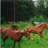 Tihuse hobuseid Muhumaal