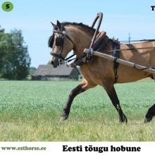 """Tohtri Error on sündinud 2009. aastal Pärnumaal, i. Elkar, e. Tooma, kasvataja Maret Kärdi, omanik Andreas Pernits.   Error on ehe näide eesti hobuse universaalsusest. Tegemist on väga hea rakendihobusega, kes on kolm korda osalenud sõidu -ja veokatsetel kolmevõistluses. Talle ei ole võõras ka metsatöö – oma peremehele on ta asendamatuks abiks palkide metsast välja vedamisel. Väga hea iseloomuga täkk on olnud """"õppematerjaliks"""" mitmel rakendikoolitusel, lastes algajatel end rahulikult mitmeid kordi ette ja lahti rakendada. Samuti on ta tõestanud ennast ratsahobusena ning teinud edukaid starte takistussõidus.   Tohtri Errori teeb eriliseks ka tema vähelevinud põlvnemine. Tema isaks on Elkar 598E, kuid esivanemate hulgast võib leida veel näiteks selliseid täkke nagu Tootsi 379E ning Tooder 347E. Tema sugupuus puuduvad aga sellised hobused nagu Rops 386E ja Miira 3097E. Järgmisel aastal on oodata ka Errori enda esimesi järglasi.  Foto autor: Liina Leppmaa"""