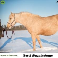 """Akiira on sündinud 2006. aastal Saaremaal, i. Aku, e. Riksi, kasvataja TÜ Pihtla Hobusekasvandus, omanik Rael Säkk.  Akiira on imekaunis mära, õrna ja naiseliku loomusega. Mitmeid aastaid täitis ta vaid sugumära rolli ning andis häid järglasi. Lemmiktegevuseks, nagu eesti hobustel üldiselt ongi, on tal söömine. Kui ülejäänud kari liigub päeva jooksul karjamaal pidevalt ringi ja jookseb alati uudistama, kui kopli ääres midagi põnevat toimub või liigub, ei tõsta Akiira eriti oma pead heinarullist kaugemale. Talle ei ole probleemiks see, kui ta jääb karjast eemale, peaasi, et söök oleks ees. Eks see asjaolu on andnud talle naiselikult ümara figuuri.  Paar aastat tagasi sai alguse tema lastelemmiku karjäär. Meenutades välimuselt Barbie hobust, on Akiira võitnud päris mitme väikese tüdruku südame. Ka omaniku väikesele tütrele on oluline hommikul õue minnes just """"ammas Kiia"""" läbi kallistada ja lemmik võtab alati kannatlikult vastu kõik kallid-paid. Selle kena märaga on mitmed inimesed saanud oma esmase ratsutamiskogemuse ning võtnud ära hirmu neilt, kes muidu hobuse selga ronida ei julgenud. Kui mõne hobuse kohta võib öelda õpetaja, siis just seda see mära on, õpetades ka täiskasvanutele kontrollima oma emotsioone ja ka liigutusi. Liialt tormakate ja närviliste inimestega ta koostööd teha ei soovi.  Vanasõna, et vanale koerale uusi trikke ei õpeta, Akiira puhul ei kehti. 11-aastasena õppis see mära selgeks rakendihobuse ameti ja tegi oma väikestele fännidele mõnusaid lumiseid saanisõite. Tegemist on hobusega, kes pakub oma perele palju rõõmu. Just selline nagu üks õige eesti hobune peakski olema.  Foto autor: Kristhel Vaht"""